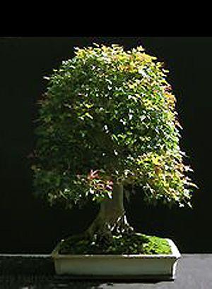 RP: Trident Maple / Acer Buergerianum - bonsai4me.com