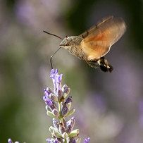 Hummingbird Hawk-Moth | 23 Dumb Animals That I Can't Believe Are Really Real