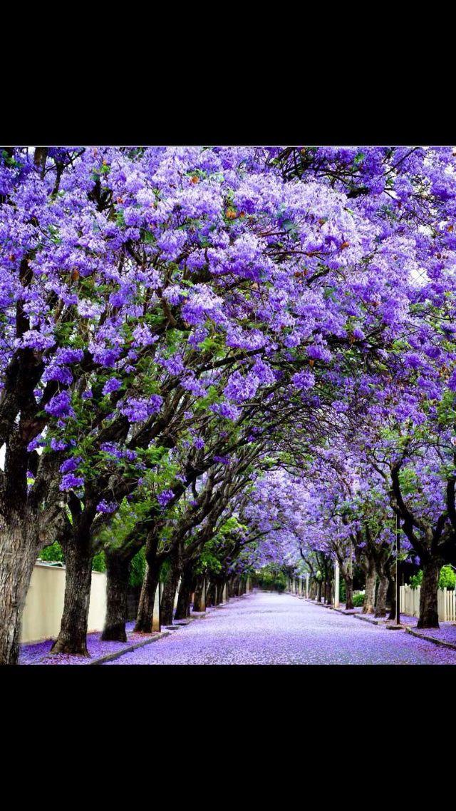 Photo By Amy Mcinerney Jacaranda Tree Lined Street Hyde Park Adelaide South Australia Jacaranda Tree Wisteria Tree Flowering Trees