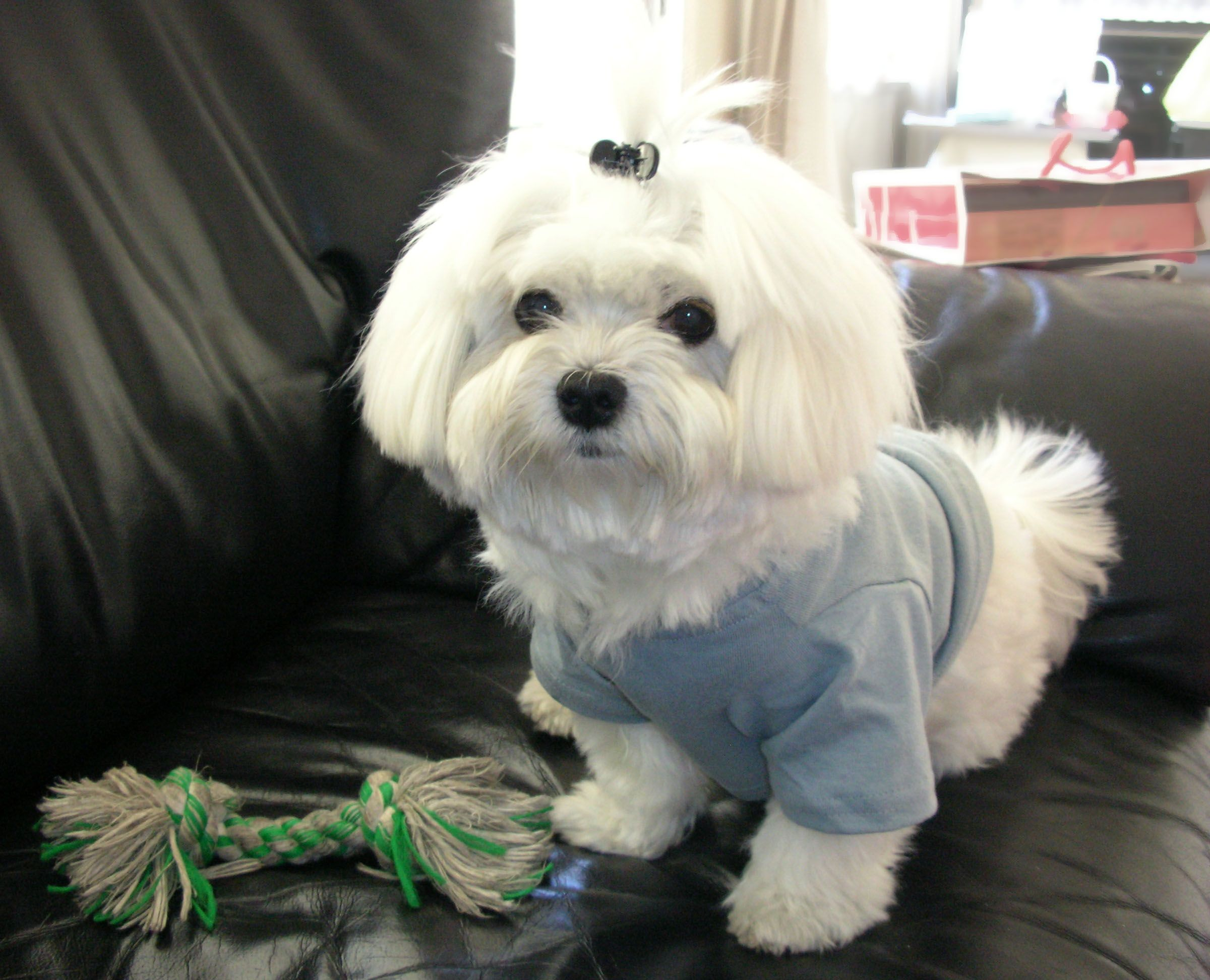 Happy Doesn T Like That Hair Clip But It Looks So Cute On Him Maltese Dogs Teacup Puppies Cute Animals
