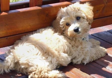 Maltese Poodle Mix Adorable With Images Poodle Mix
