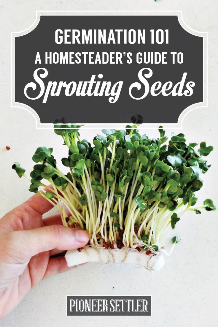 How To Germinate Seeds A Homesteader S Guide To Sprouting Seeds Sprouting Seeds Microgreens Seeds