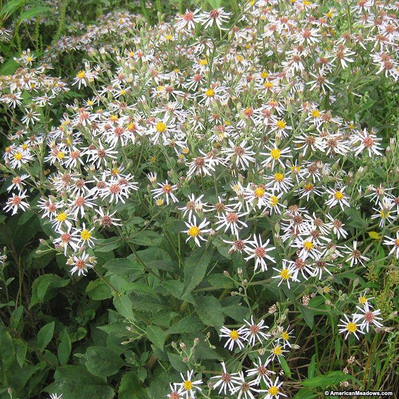Big Leaf Aster Seeds Big Leaves Wildflower Seeds Perennials
