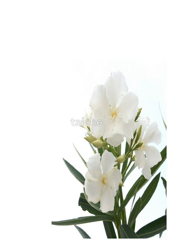 White oleander flowers close up isolated on white background white oleander flowers close up isolated on white background mightylinksfo