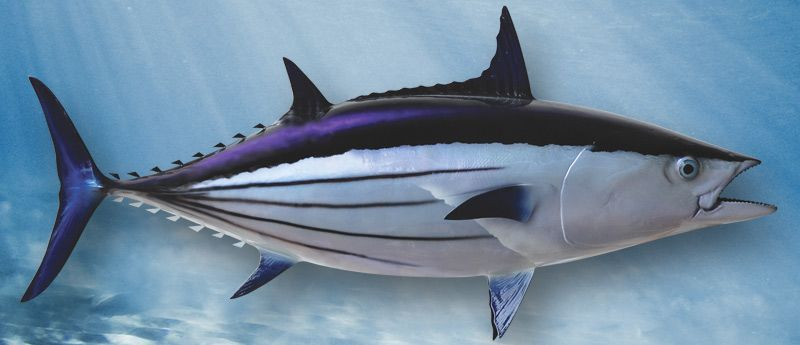 Skipjack Tuna - Skipjack, Skipjack Tuna (Katsuwonus Pelamis) is dark blue  or purple along the back, while the belly and lower side… | Saltwater,  Animals, Two by two