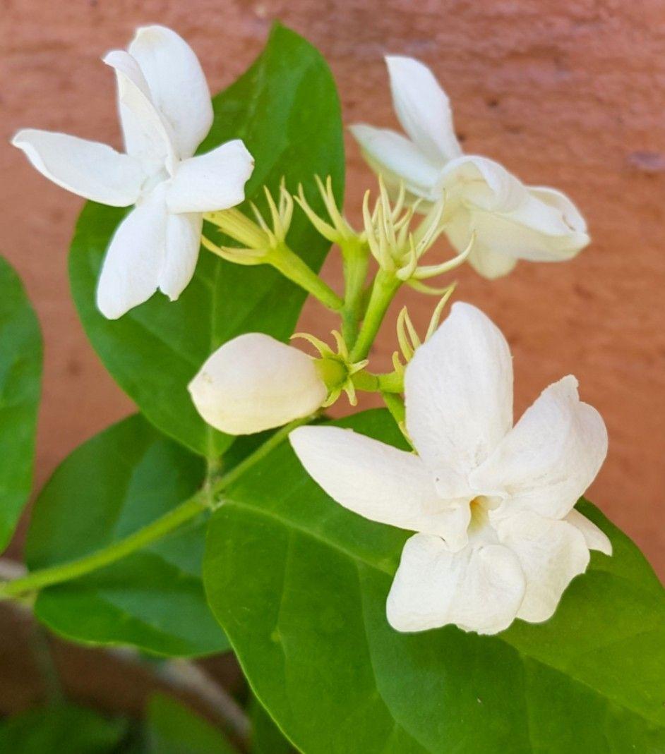 Jasmine Fragrant Flower A Tropical Fragrant Flowering Shrub That Are Native In A Warm Temperature Regions Ja In 2019 Fragrant Flowers Amazing Flowers Jasmine Flower