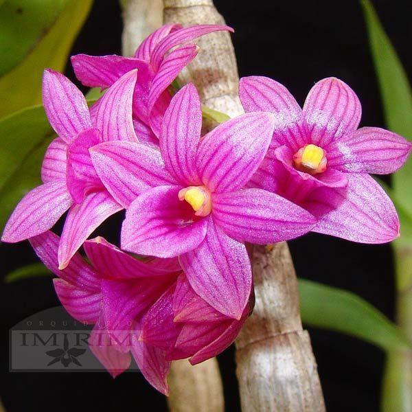 Dendrobium goldschmidtianum