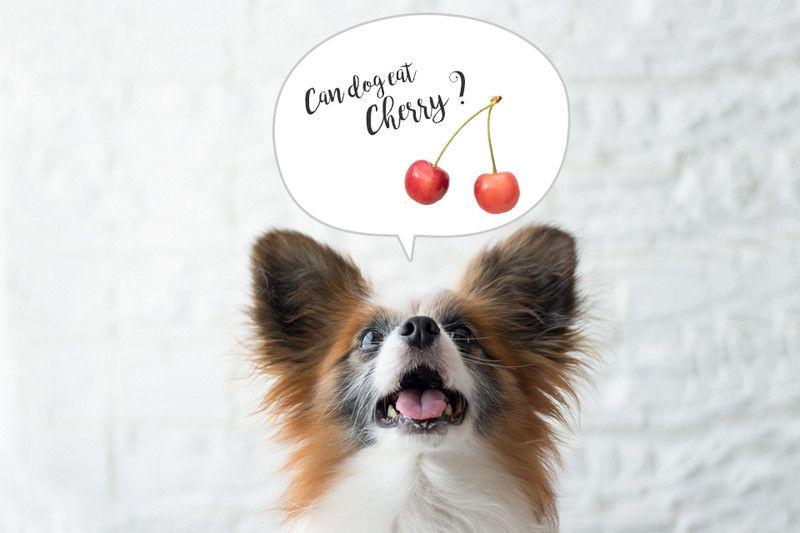 犬にさくらんぼを食べさせても大丈夫 種はng さくらんぼ 犬 種
