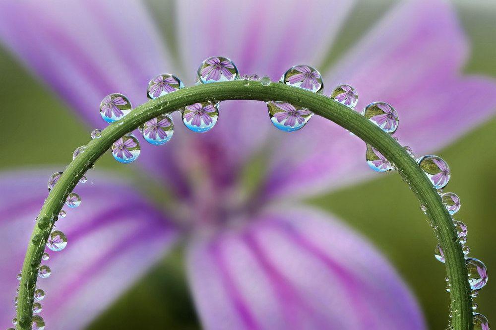 Картинки цветка вьюн часто встречаются