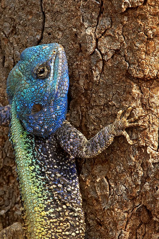Agama Lizard - The Agama lizard's head, neck and thighs are covered with spiny scales. Males can be brown, gray, red, blue, or even yellow. Females, however, are either brown or gray in color.  There are 60 known species of agama lizards.
