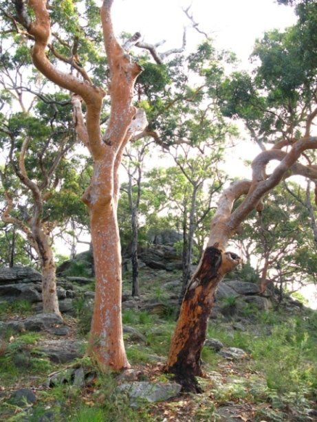 This Tree Is Commonly Known As Sydney Red Gum Or Rusty Gum But Is Actually A Member Of The Myrtle Australian Wildflowers Architectural Trees Australian Trees