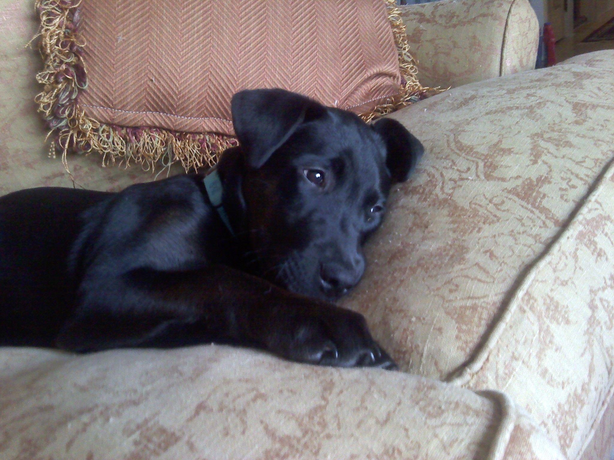 Half Rhodesian Ridgeback Half Black Lab Black Labrador Puppy Puppy Day Rhodesian Ridgeback