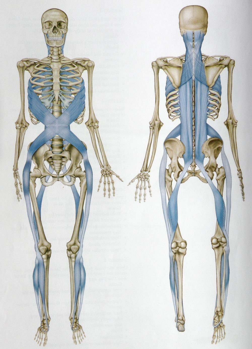 fascial lines - Google Search | Fascia | Pinterest | Google, Anatomy ...