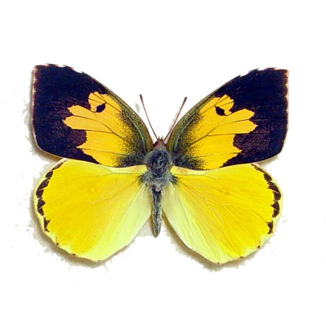Zerene Eurydice - California Dogface Butterfly | Real Butterfly ...