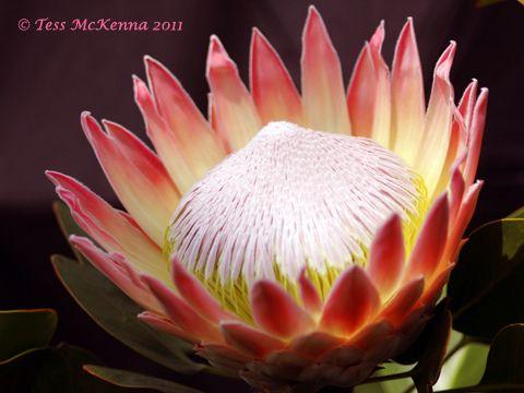 King Protea Flower 147 Protea Flower Protea Art Flower Art