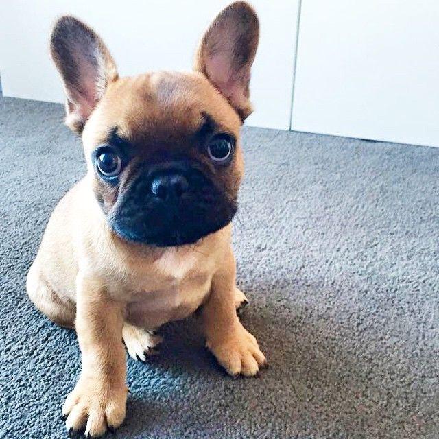 Frenchie, French Bulldog Puppy