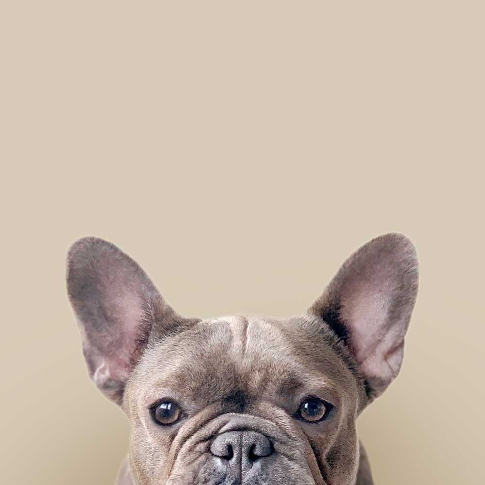 Start Today With A Grateful Heart Inquire For French Bulldog Puppies For Sale Ema In 2020 French Bulldog Puppies Bulldog Puppies For Sale Frenchie Puppy