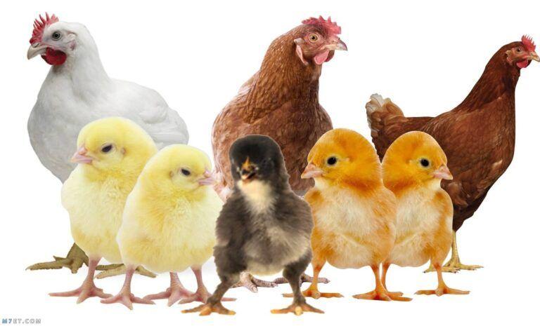 الدواجن اليوم دليلك المرشد للدواجن بورصة الدواجن العمومية ملتقى المهتمين بتربية الدواجن ومتابعة اسعار الدواج Poultry Business Poultry Science Poultry Equipment