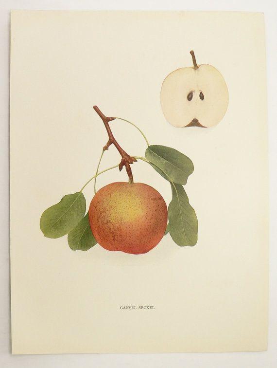 Antique fruit print 1921 vintage pear print gansel seckel pear vintage wall art