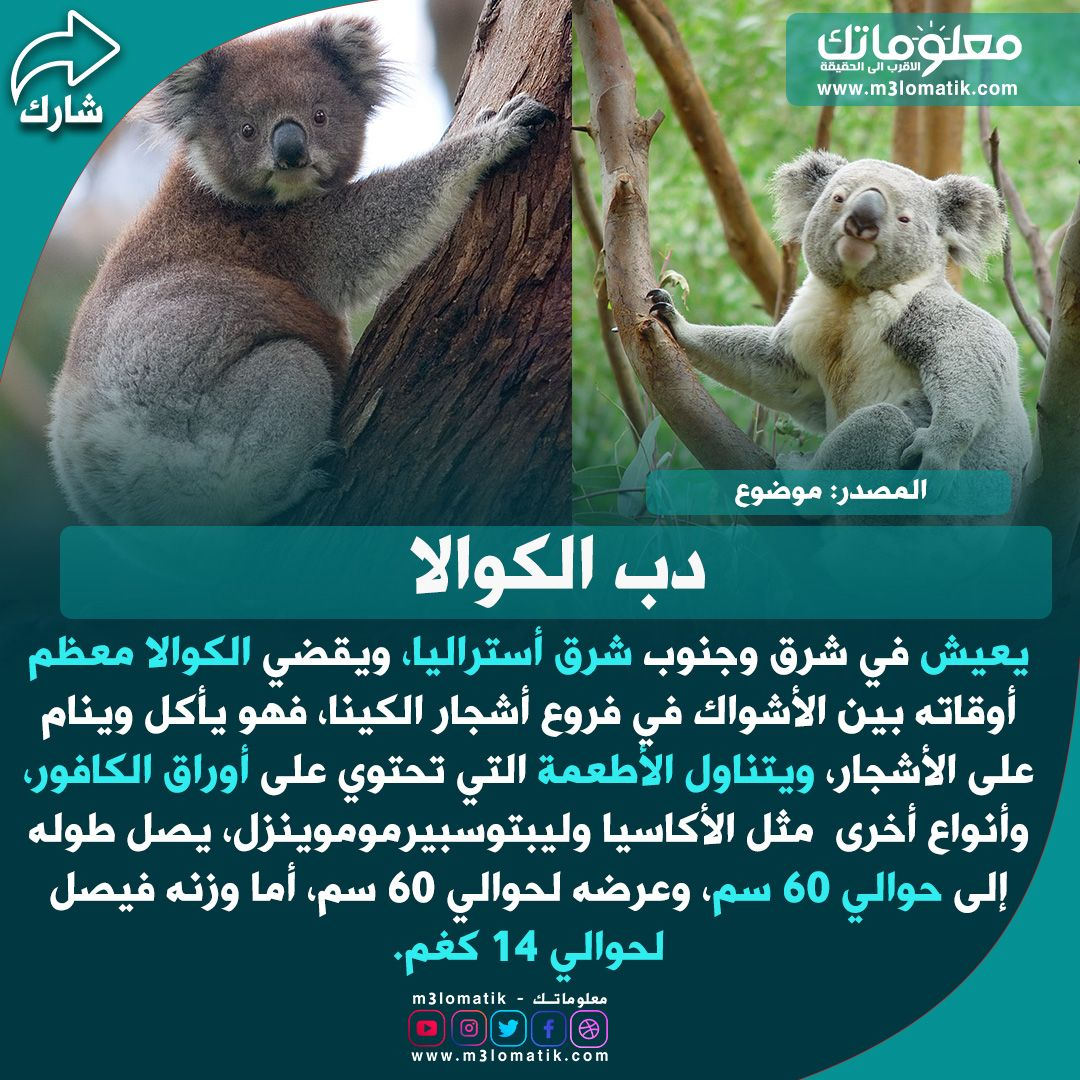 دب الكوالا Koala Bear Koala Animals
