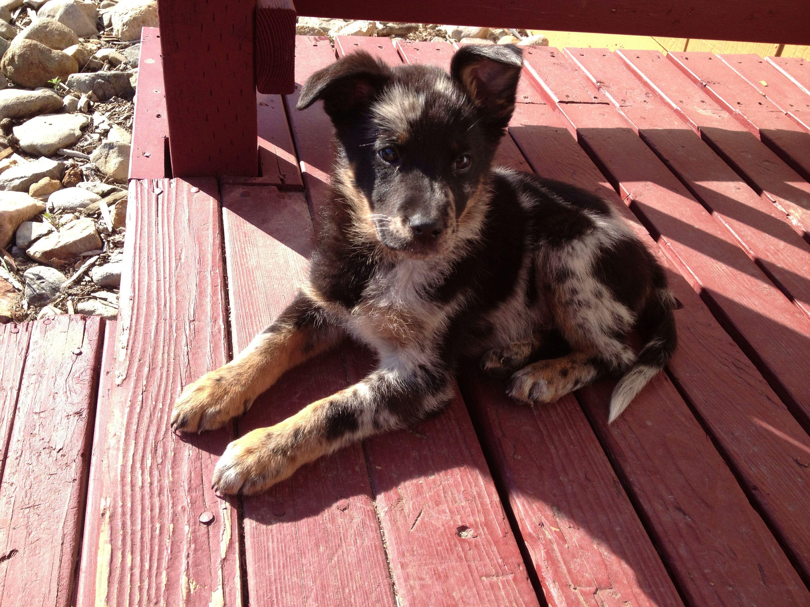 German Shepherd Australian Shepherd Mix Puppies Australian Shepherd - ...