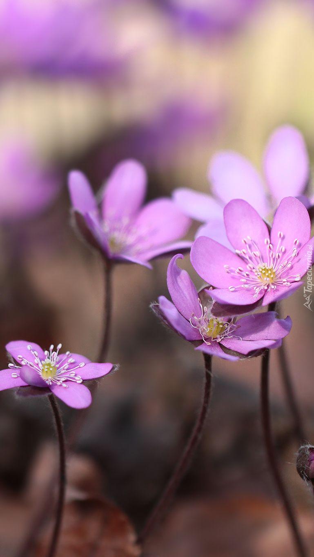 Rozowe Przylaszczki Pospolite Tapeta Na Telefon Flowers Beautiful Flowers Cute Wallpapers