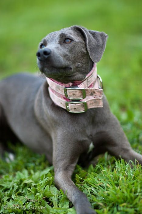 Pictures Of A Blue Lacy Dog