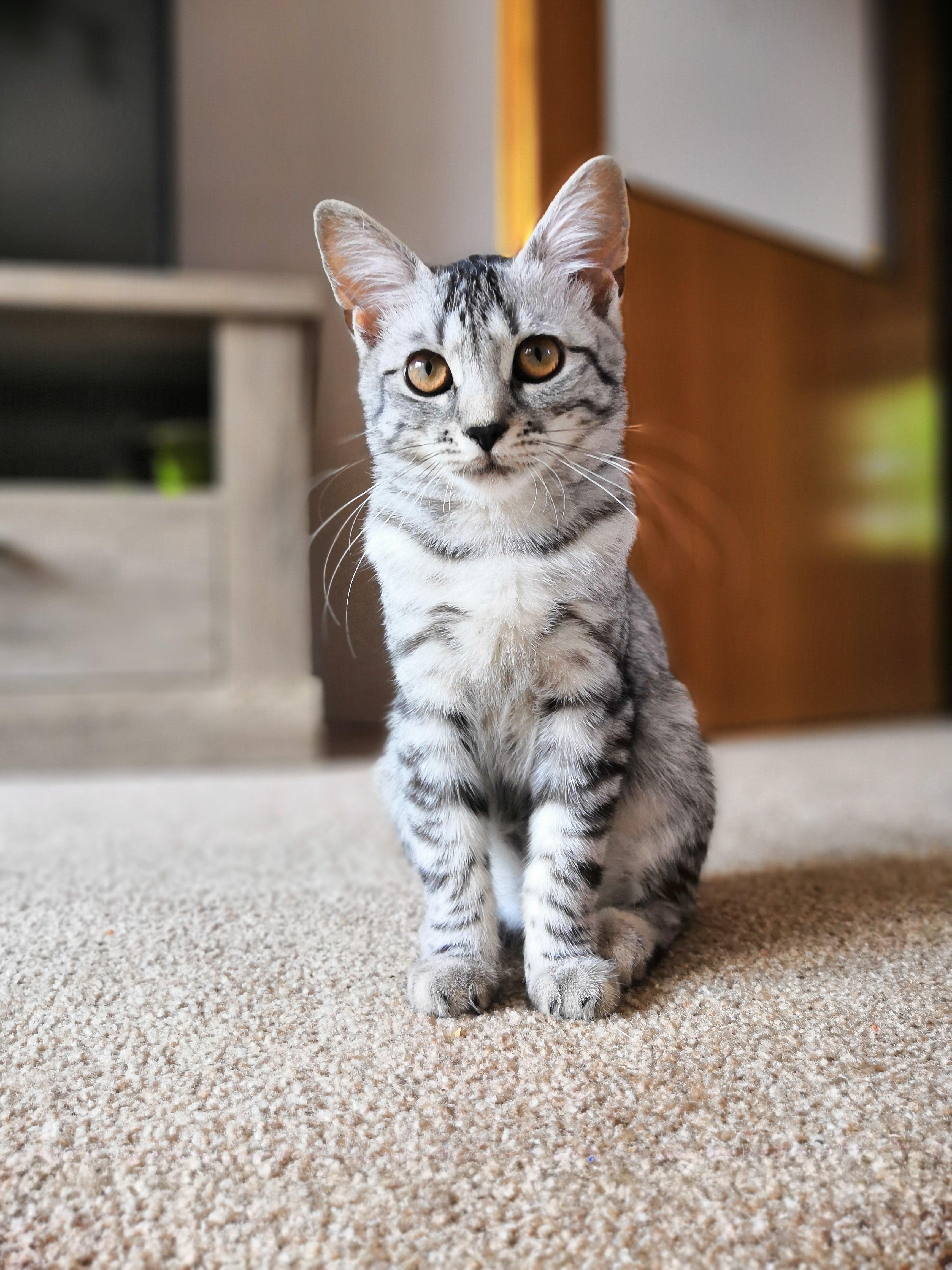 Meet Bibi Grey tabby cats, Cute cats and kittens, Animals