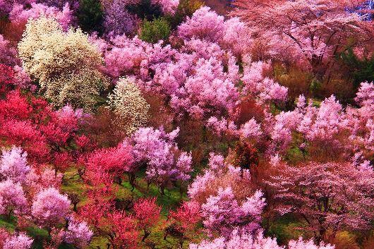花見山32010413.jpg  sakura