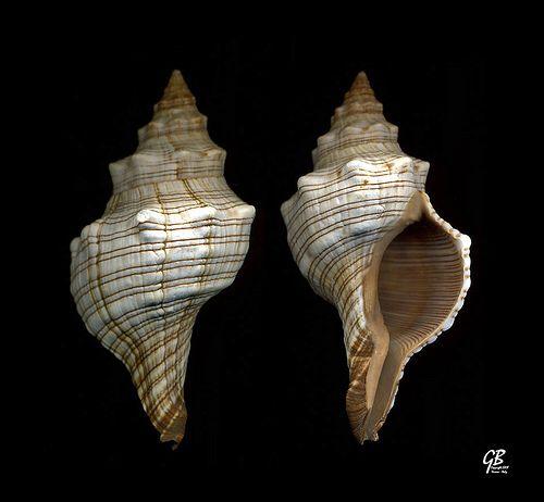 Fasciolaria trapezium L., 1758 - India