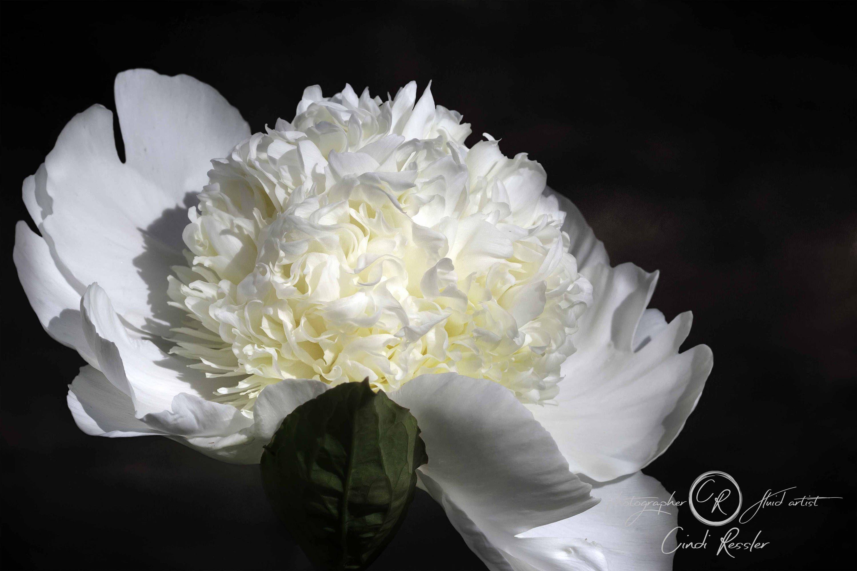 Garden wall art flowers  Photography Photo White Peony Fine Art Flower Floral Garden