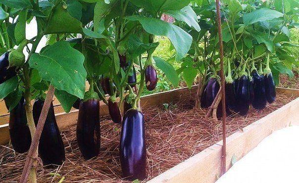 Выращиваем баклажаны на теплой грядке. | Выращивание ...