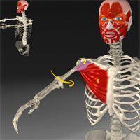 Atlas interactivo músculos