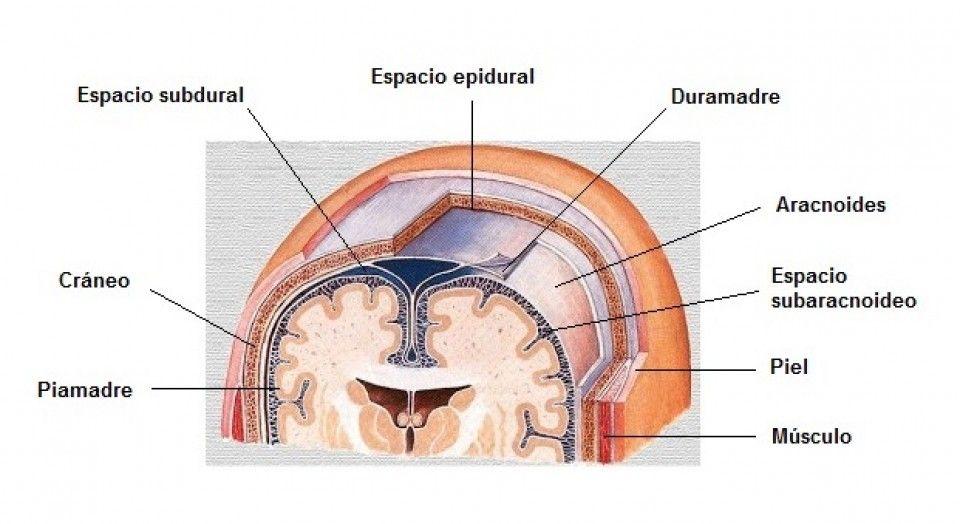 Aracnoides (cerebro): anatomía, funciones y trastornos asociados ...