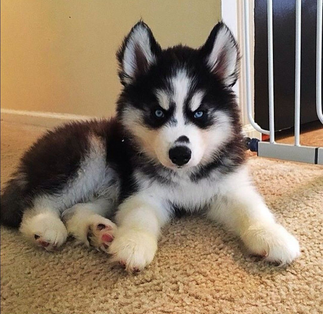 Hi There Siberianhusky With Images Cute Husky Puppies