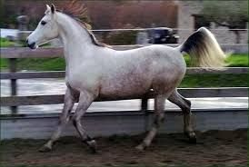 Resultado de imagen para caballos arabes