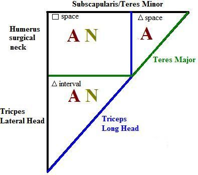 Quadrangular Space - Triangular Space - Traingular Interval #anatomy ...