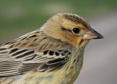 Bobolink, colored like no other in Michigan
