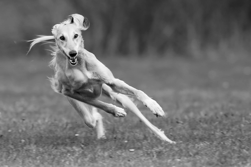 Saluki in motion