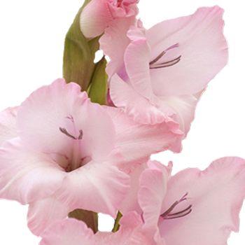 Gladiolus Light Pink Flower Fiftyflowers Com Gladiolus Flower Light Pink Flowers Gladiolus Wedding Flowers