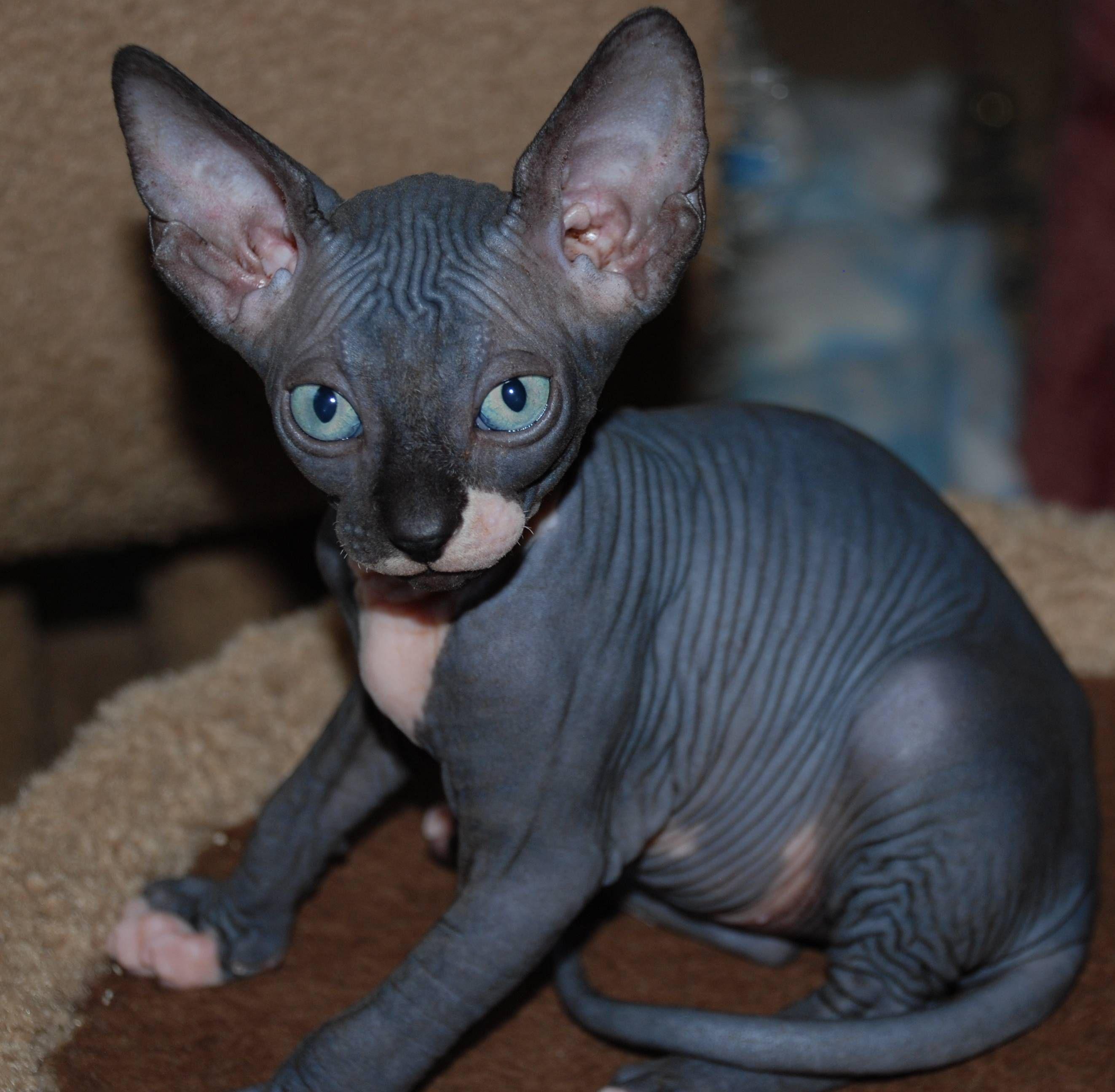 3bt7y Jpg 2646 2592 Hairless Cat Kittens Hairless Kitten Sphynx Cat