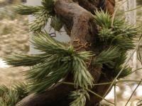 Tillandsia Species pedicellata