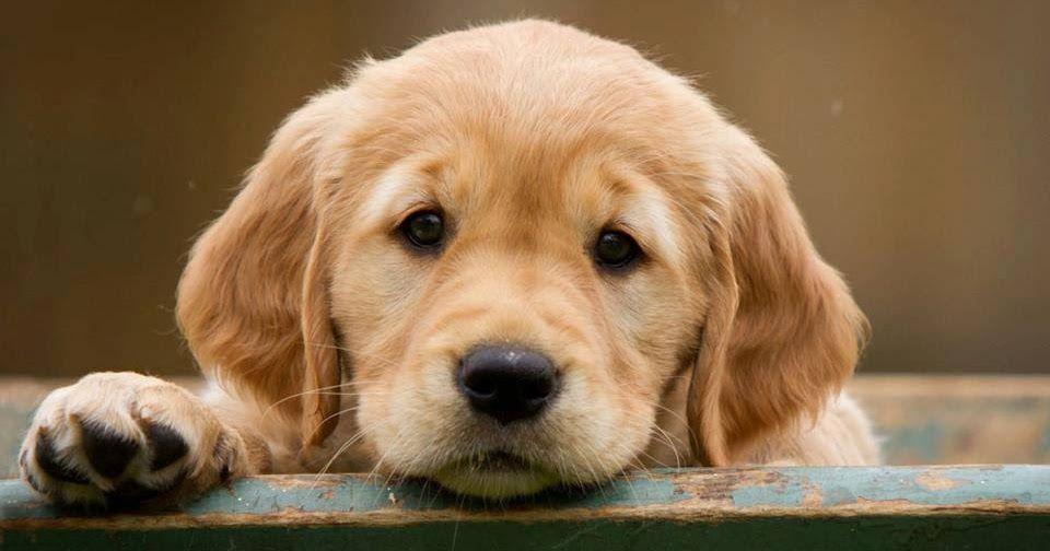 How much does a golden retriever puppy cost razas de