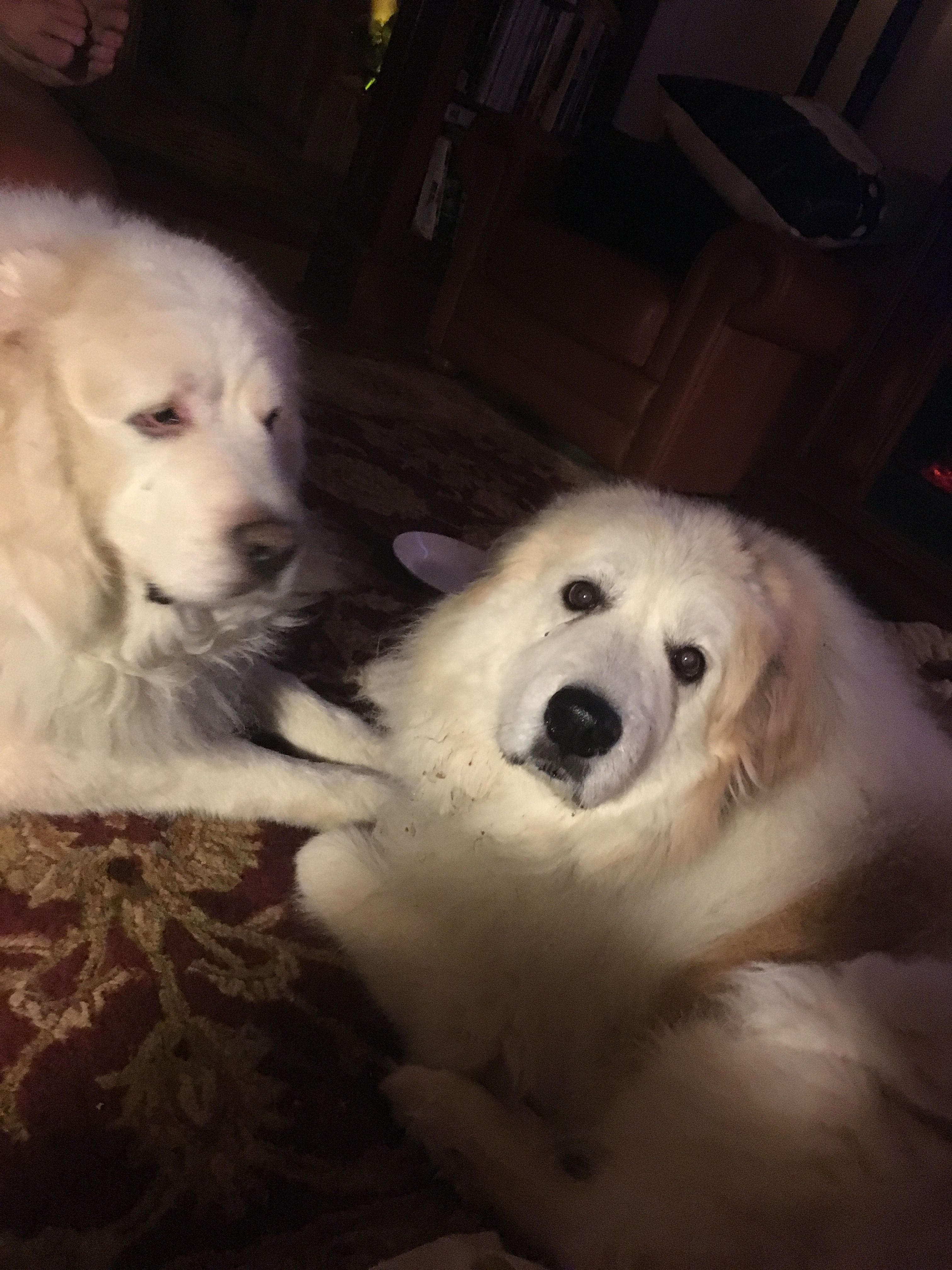 Pin By Judy Schnick On Pictures Great Pyrenees Dogs Puppies Dogs