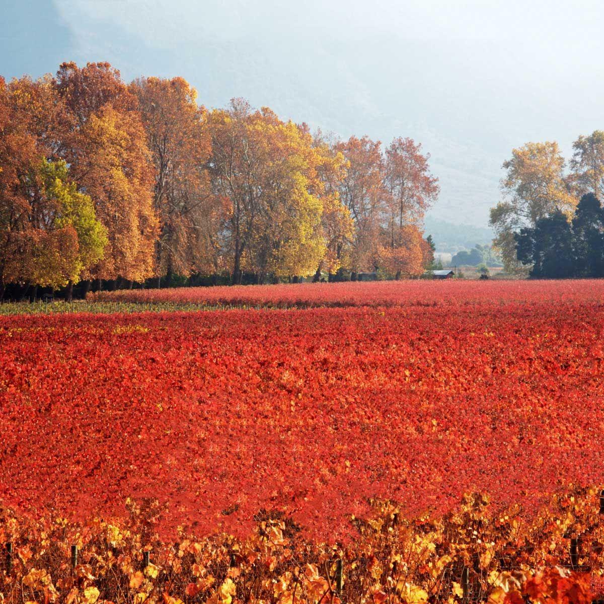 Autumn At Cono Sur S Vineyards In Chile Vino De Chile Vinos Chilenos Viajes