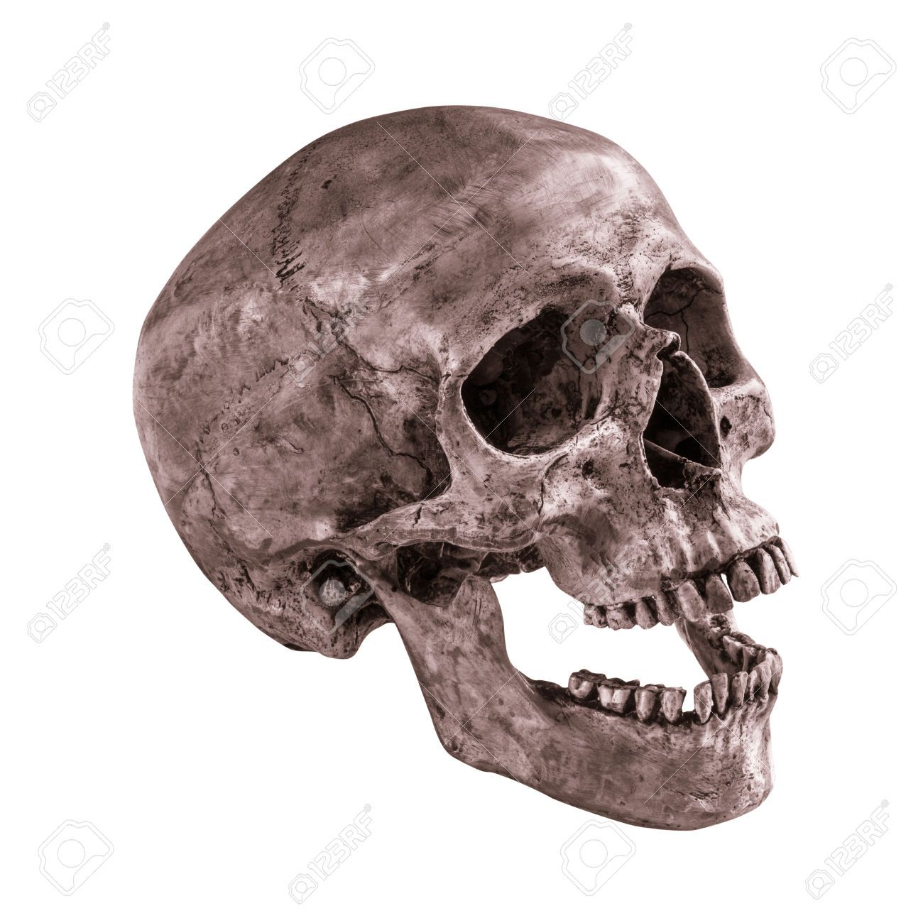 Human Skull 28216316 Sideview Of Human Skull Open Mouth On Isolated