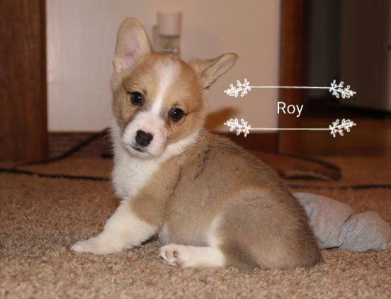 Litter Of 5 Pembroke Welsh Corgi Puppies For Sale In Poteau Ok