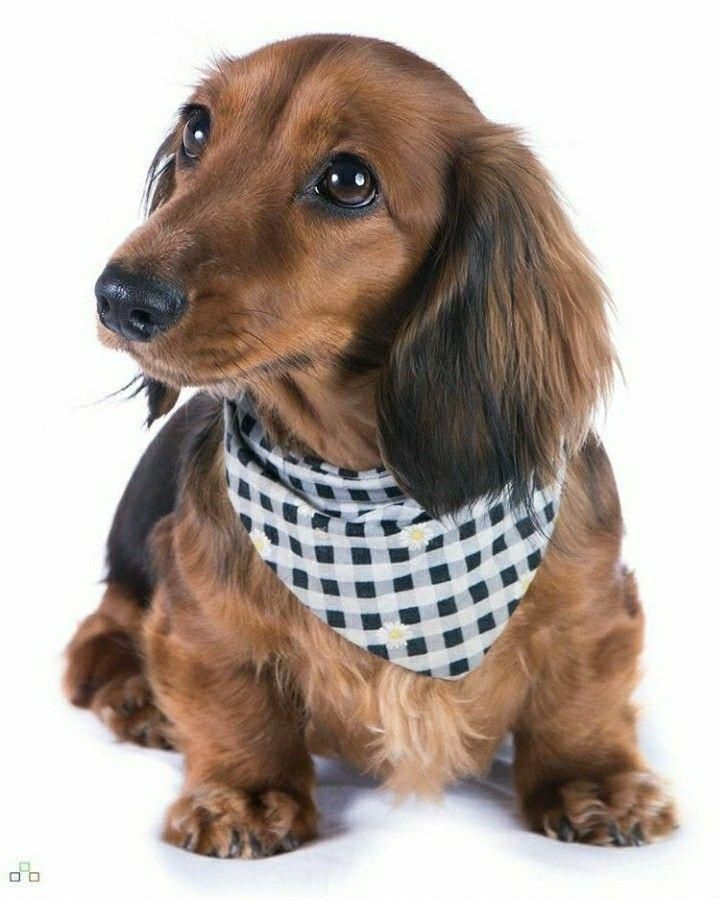 Dachshund Training Dachshunds Dachshund Dog Dachshund Puppies