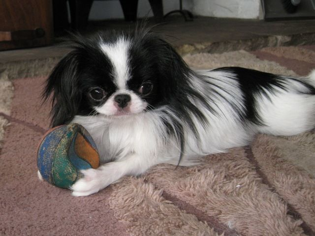 Pictures Of Japanese Chin Dog Breed Japanese Chin Dog Japanese Chin Puppies Japanese Chin