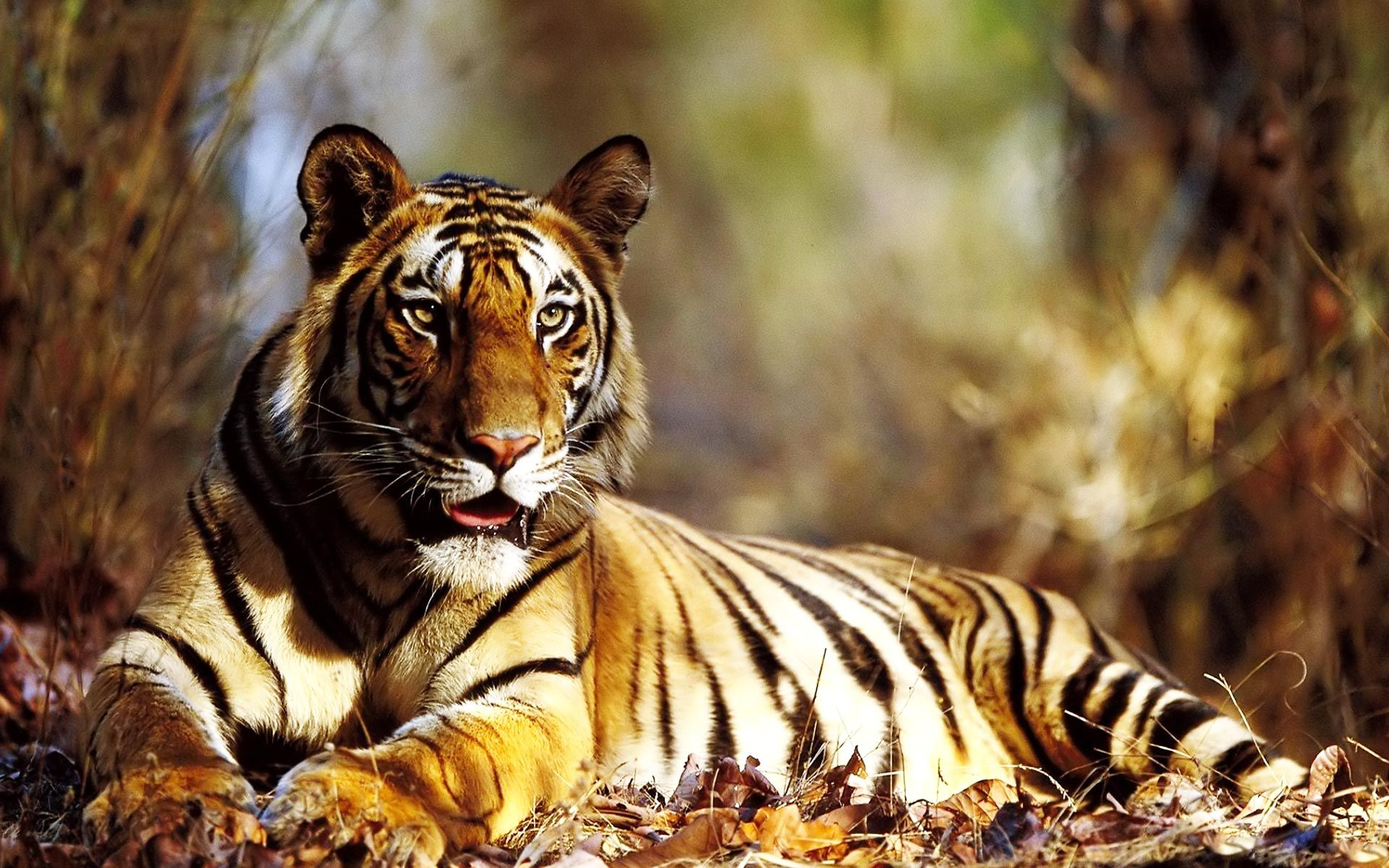 tiger hd wallpapers full high quality new backgrounds | tiger